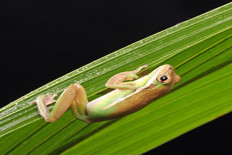 פרשת וארא – צפרדעים כלוחמה פסיכולוגית