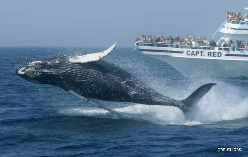 לוויתנים, והפלגות ומוזיאון בקייפ מיי