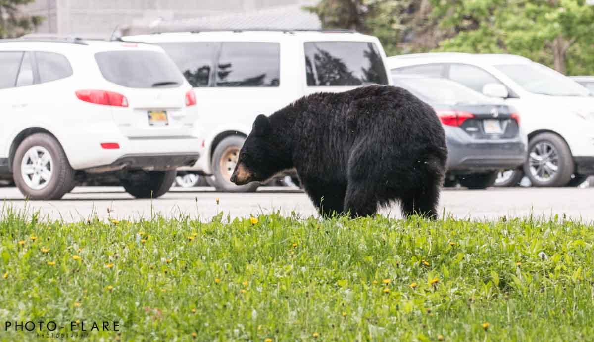 דוב שחור באלסקה